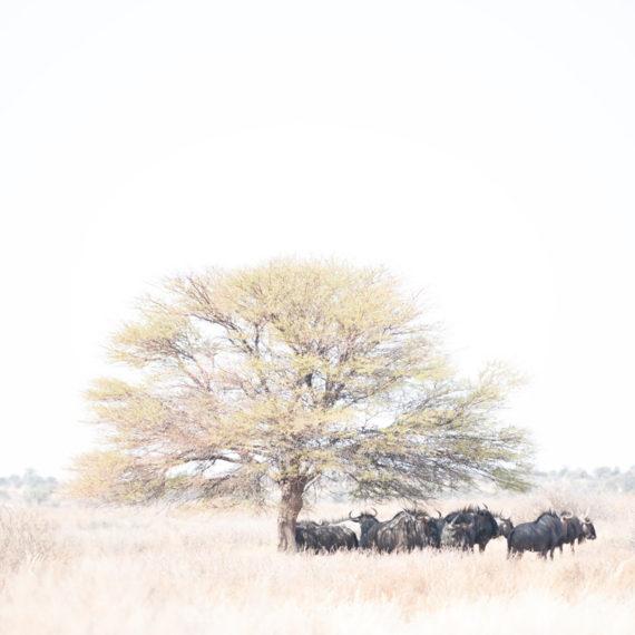 Cathy Prettejohn | Wildebeest 004