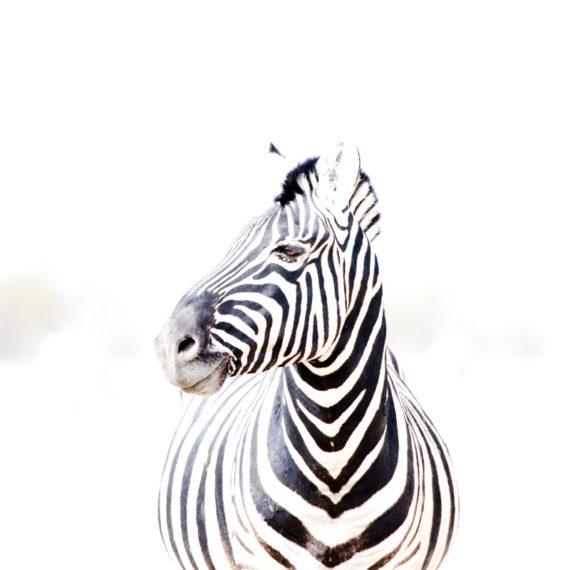 Cathy Prettejohn | Zebra 011